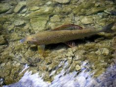 great pick of a grayling in the water!