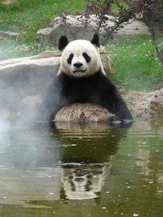 ~~Giant Panda: Yuan Zi in the bath! by Alex..H~~