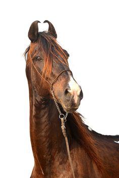 Marwari horse   http://www.flickr.com/photos/12701729@N07/5773840477/in/set-72157602094720343