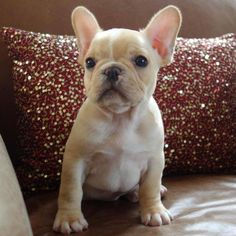 sweet fawn frenchie puppy