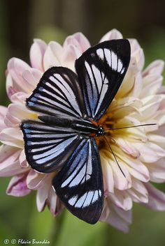 ~~Series with flowers and butterflies ~ Hyalina Metalmark (Thisbe hyalina) - Nymphidiini by Flávio Cruvinel Brandão~~