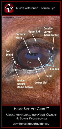 Another good guide! Horse Side Vet Guide - Quick Reference - Equine Eye Anatomy #arabianhorse #horses