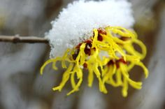 Hamamelis 'Arnold Promise' (Witch hazel) blooms with a cap of snow.