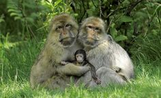 A New-born baby macaque at the Trentham Monkey Forest in Staffordshire, United Kingdom.