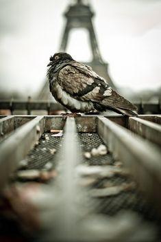 Pigeon in Paris .