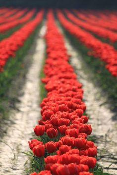 ❤❤❤  poppies