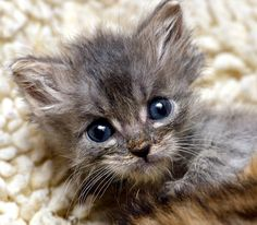 """""""A true cat lover cradles a new kitten and knows that nine lives will never be nearly enough."""" --Author Unknown"""
