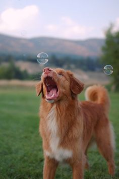 nova scotia duck tolling retriever...catching bubbles, that's too much lol!