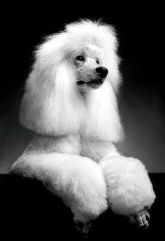 Fluffy white standard poodle