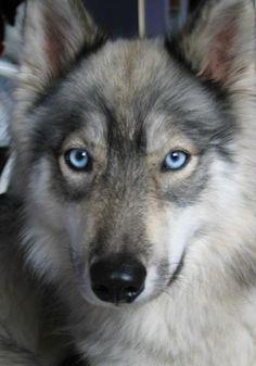 Husky/Wolf Hybrid gorgeous