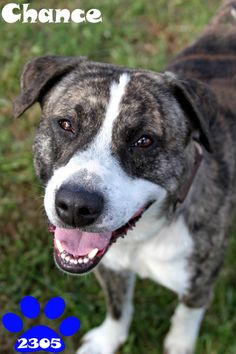 2305 - CHANCE Pit Bull Terrier Mix • Young • Male • Large Brown County Animal Shelter Georgetown, OH 2 yrs old http://www.petfinder.com/petdetail/24474995/