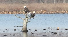Reelfoot National Wildlife gives free tours to view the eagles.