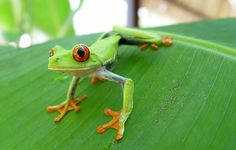favorit place, anim, red, tree frogs, green, costa rica, trees, travel, caribbean