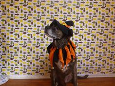 Emmet tries on a Witch Dog Halloween Dog Costume