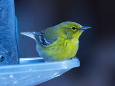 The pine warbler is often heard but rarely seen. To identify one of these birds, even at close range, you've got to inventory its features, hear it sing if possible, and ponder.