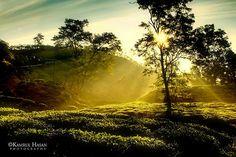 Dreamy Morning: Beautiful golden light!  Taken from Moulovibazar, Sylhet Bangladesh in winter 2008, found on Kamrul Hasan's photostream.