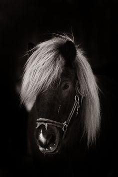 Icelandic horse (EllinorBergman)