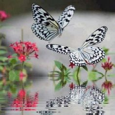 black and white butterflys