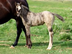 Never heard of this one before...an AQHA smoky black brindle with a roaning gene.