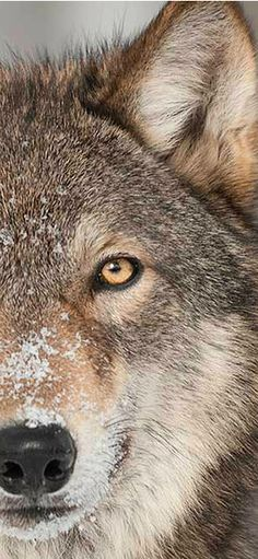 Wolf in Western Montana & Glacier National Park | glaciermt.com