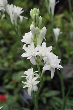 "~Tuberose, Polianthes tuberosa ""The Pearl"""