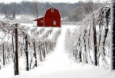 Snow in the vineyard.