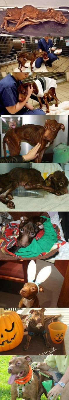 Patrick is a pitbull who was found in a trash chute, emaciated and clinging to life.  With the help of Garden State Veterinary Specialists, he has made an incredible recovery.