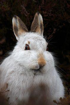 Mountain Hare surprise!