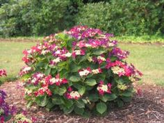 hydrangea strawberri, cream hydrangea, strawberries, companion plant, plants, garden galor, gardens, easi garden, hydrangeas