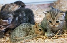 These kittens are NUTS about their newest sibling! Orphaned squirrel Bushytail finds new home with litter of newborn cats