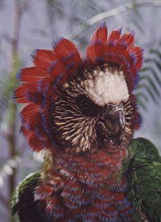 Hawk-headed Parrots