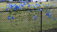 I love the idea of planting morning glories to vine on the fence. These flowers used to grow wild in my family's vegetable garden when I was a kid.