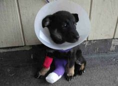 Coastal German Shepherd Rescue saved this pup today. She needs surgery for a broken leg. You can help by donating towards her medical costs! www.paypal.com/...