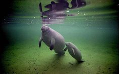 Baby and momma manatee.... So cute but their endangered, :'( click on the link to learn more.