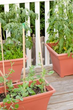 Vegetable gardening in containers » Peanut Blossom