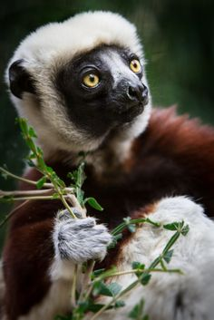 Coquerel's Sifaka Lemur (by William T Hornaday) - via: h4ilstorm: - Imgend