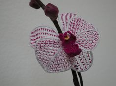 needle lace orchid