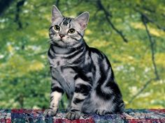 Gallery For > Silver And White Tabby Cat