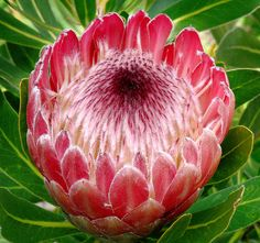 Protea 'Pink Ice' #1 by J.G. in S.F., via Flickr  Proteaceae - South Africa  Protea    Photographed in San Francisco Botanical Garden - San Francisco, California  http://flic.kr/p/5BqXJ5