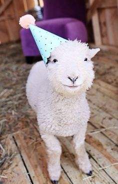 Lamb with a party hat