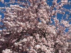 British summertime  cherry blossom?