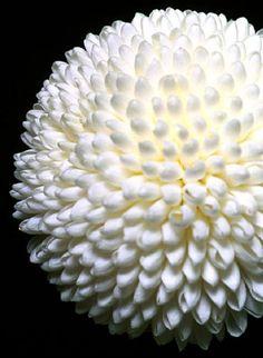 Chrysanthemum pom pom