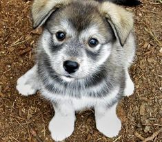 this little guy is a husky mix, and i am so madly in adoration of him! i must have a husky of some sort once i acquire a place of my own.