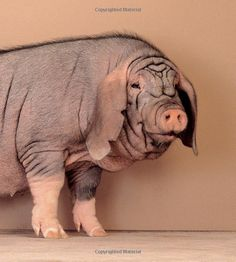 Meishan pig. It's like the bulldog of pigs!