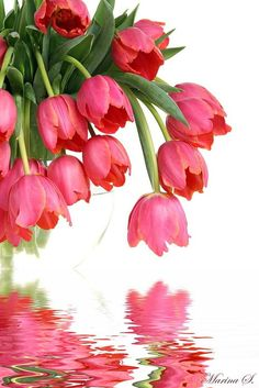 pink tulips for spring