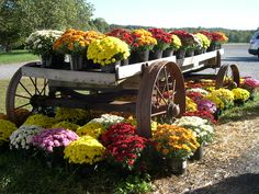 Beautiful fall mums!