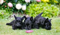 Scotty puppies!