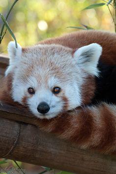 red pandas, panda cub