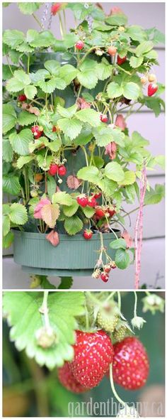 Growing Strawberries in Hanging Containers / Grow Bags #growing #strawberries