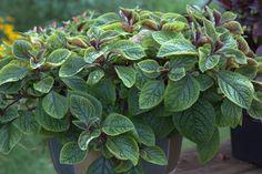 Plectranthus 'Lemon Twist' potted plant